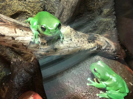 2green-frogs-learn-English-Melbourne