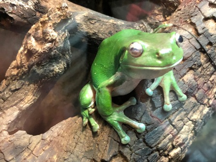 green-frogs-learn-English-Melbourne